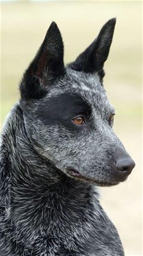 1000 ideas about australian cattle dog on pinterest