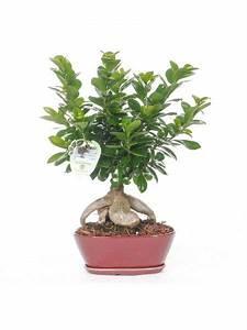 Bonsai Ficus Ginseng : 10 best bonsai ficus ginseng images on pinterest bonsai ficus spring and winter ~ Buech-reservation.com Haus und Dekorationen