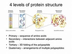 Please Help  Which Structure Of A Protein Is The Second