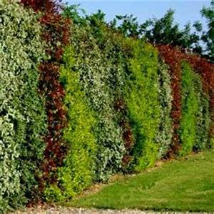 Arbuste Pour Haie Pas Cher : kit 4 vari t s xxl en pot de 3 ou 4l haie persistante et fleurie vente lot de 12 arbustes en ~ Nature-et-papiers.com Idées de Décoration