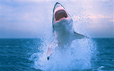 Great White Shark Jumping Out Of Water Wallpaper Shark Wallpapers Hd Desktop Wallpapers 4k Hd