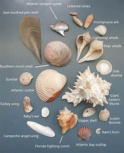Glass Types Chart Common Seashells Of The Padre Island National Seashore