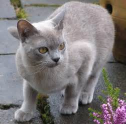 blue burmese cat 10 most popular cat breeds page 2 of 2