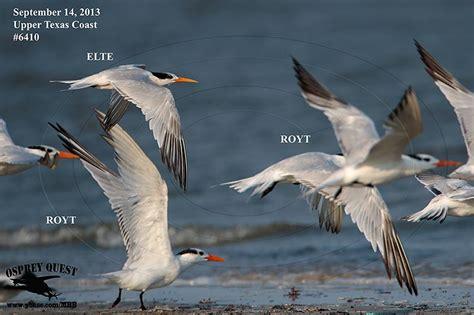 _MG_6410 Elegant Tern vs Royal Terns.jpg