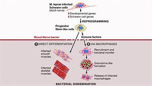 Study  Leprosy Bacteria Turn Nerve System Cells Into Stem