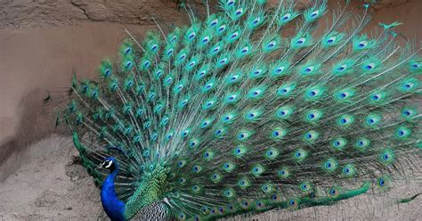 peacock   beautiful  colorful bird   world