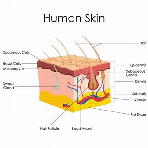 Human Skin Anatomy Stock Vector  Illustration Of Education