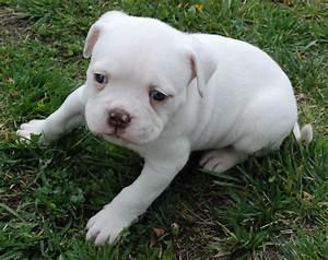 American Bulldog | American Bulldog Puppies | Oh my gosh ...