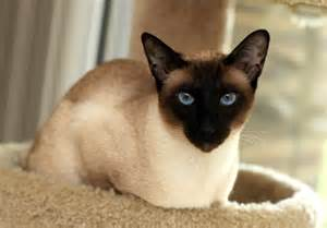 seal point cat seal point siamese just how many different siamese point