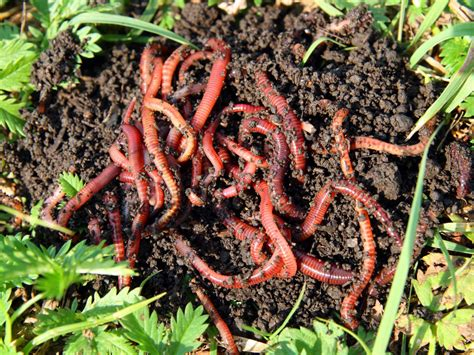 worms for garden how to compost with worms hgtv