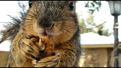 close hd  squirrel eating nuts youtube