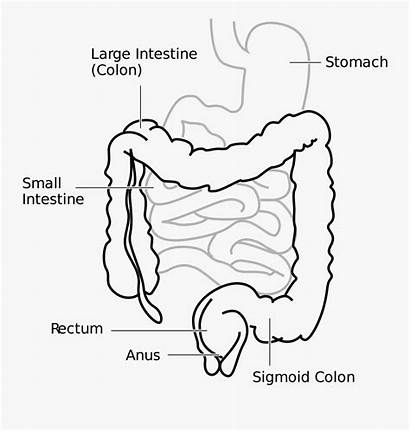Intestine Drawing Pancreas Diagram Outline Clipart Freebie