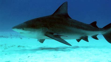 shark bull florida fishing