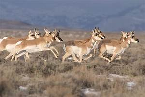 Animal Picture of the Day:Pronghorns on the Run | AnimalPages