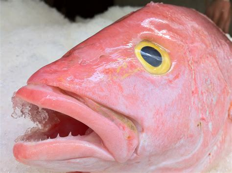 fresh snapper eye yellow seafood round means close boat caught customers supply wild month season