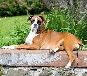 what is the best dog food for boxers dogsarenacom With best dog food for boxers