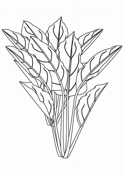 Coloring Spinach Pages Plant Flowering Sheets Printable