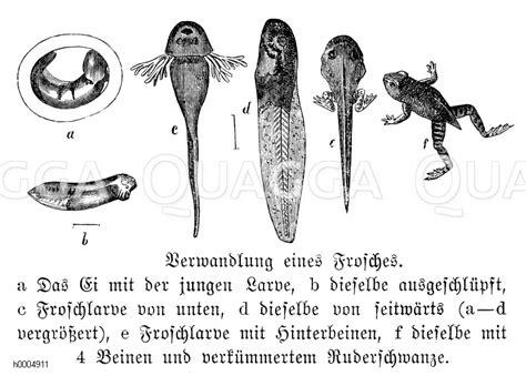 frosch entwicklung quagga illustrations