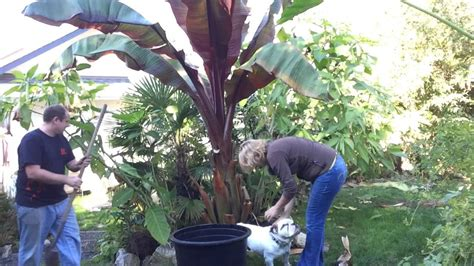 fall gardening pt 2 3 moving banana taros