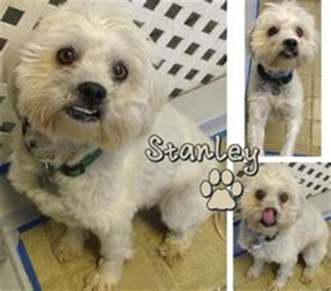 non shedding small dogs for adoption 1000 images about non shedding dogs on shih