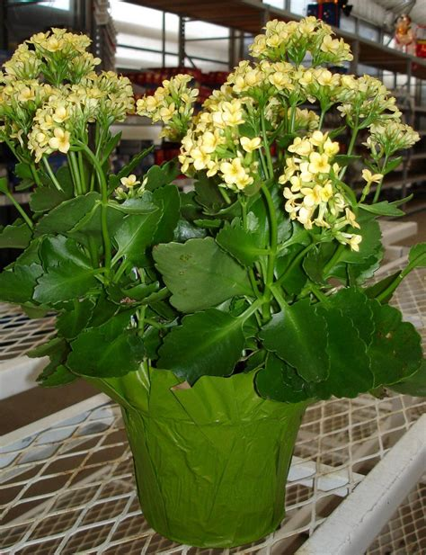 Do You Winter Gardening Blues by Away Winter Blues With Blooming Houseplants