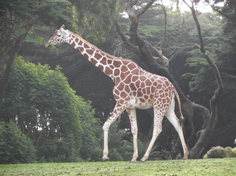 1000+ Images About Giraffe On Pinterest