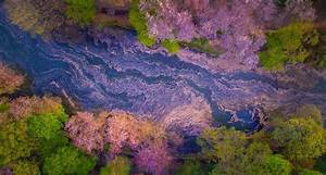 Cherry blossoms flood the inokashira park lake in tokyo for Cherry blossoms danilo dungo