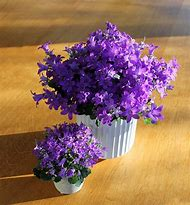 Purple Flower Houseplants