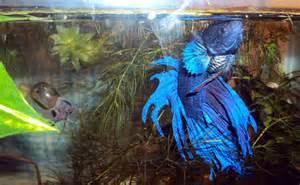 Freshwater Pet Fish Betta