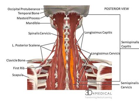 The scapula (shoulder blade) is elevated by the trapezius muscle, which runs from the back of the neck to the middle of the back, by the rhomboid major and rhomboid minor muscles in the upper back, and by the levator scapulae muscle, which runs along the side and back of the neck. Kelowna Massage Therapy and Acupuncture Therapy - Balance Point - Kelowna