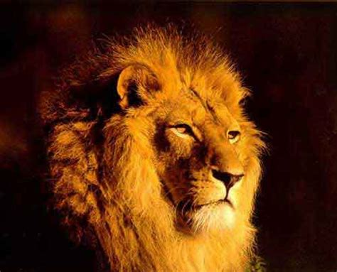 lions animal lion wallpapers  style
