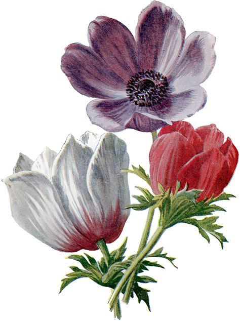 vintage lush red  white anemones botanical graphic