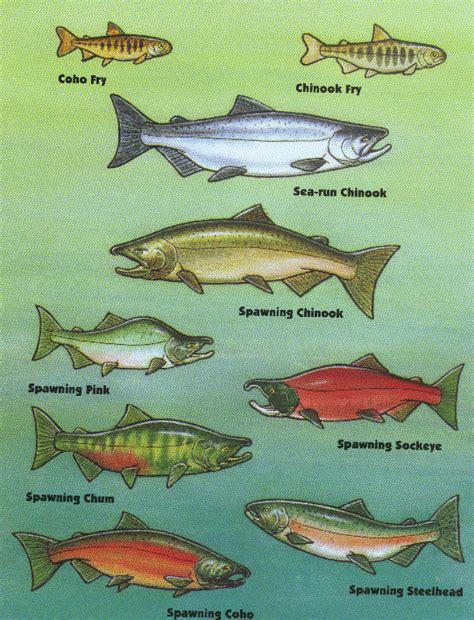types of salmon alaska salmon ology sound like an expert ak on the go