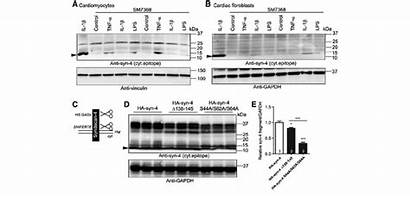 Syndecan Shedding Jb Nf Cardiac Cells Regulated