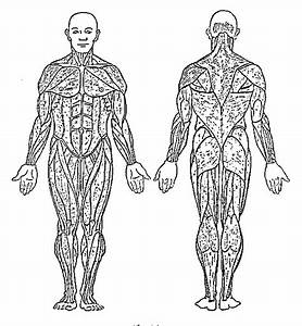Coloring Pages Of The Muscular System