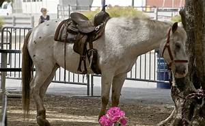 Pony of the Americas - Wikipedia