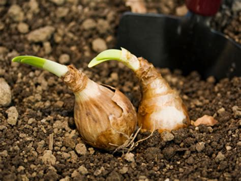 pics for gt bulbs plants