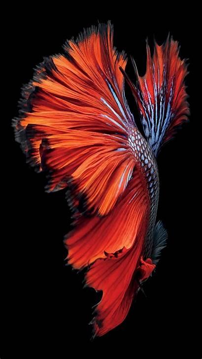 Iphone Ikan Cupang Wallpapers 6s Fish Desain