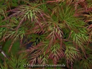 Acer Palmatum 39 Emerald Lace 39 Japanese Maples Palmatum