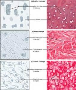 Cartilage Connective Tissue Diagram