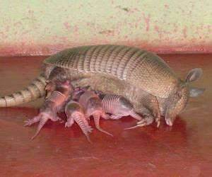 1000+ images about Pangolin & Armadillo on Pinterest ...