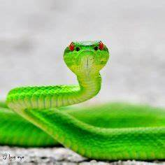 viper green snake reptile red