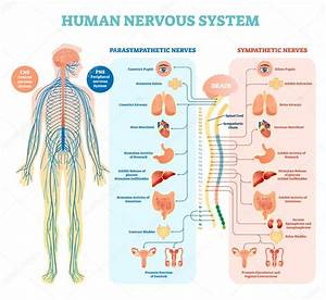 Human Nervous System Medical Vector Illustration Diagram