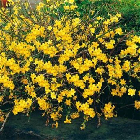 fiori di san giuseppe il gelsomino consigli di primavera per il gelsomino di
