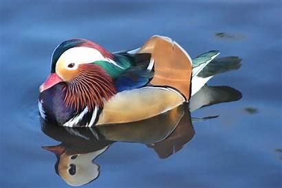 Duck Mandarin Birds Captive Wiki Wikia Zoochat