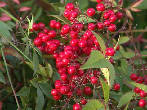 shrub with berries in winter winter berries