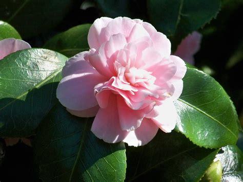 where to plant camellia japanese camellias name that plant