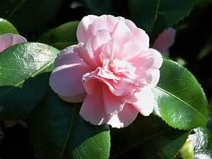 Camellia Japonica Winterhart : camellia japonica magnoliaeflora name that plant ~ Eleganceandgraceweddings.com Haus und Dekorationen