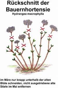 Hortensien Schneiden Video : hortensien schneiden auf ~ Lizthompson.info Haus und Dekorationen