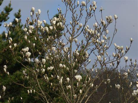 magnolia tree white flowers 12th april the garden diary